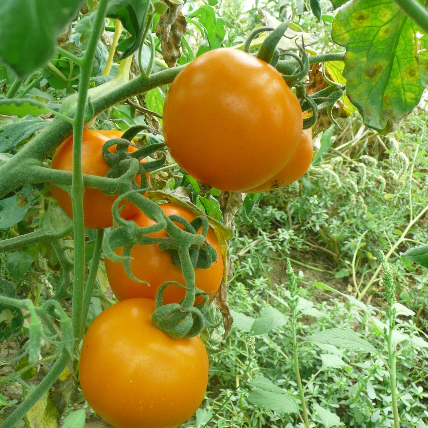 Bulgarian tomato with high content of beta-carotene extremely suitable for organic farming