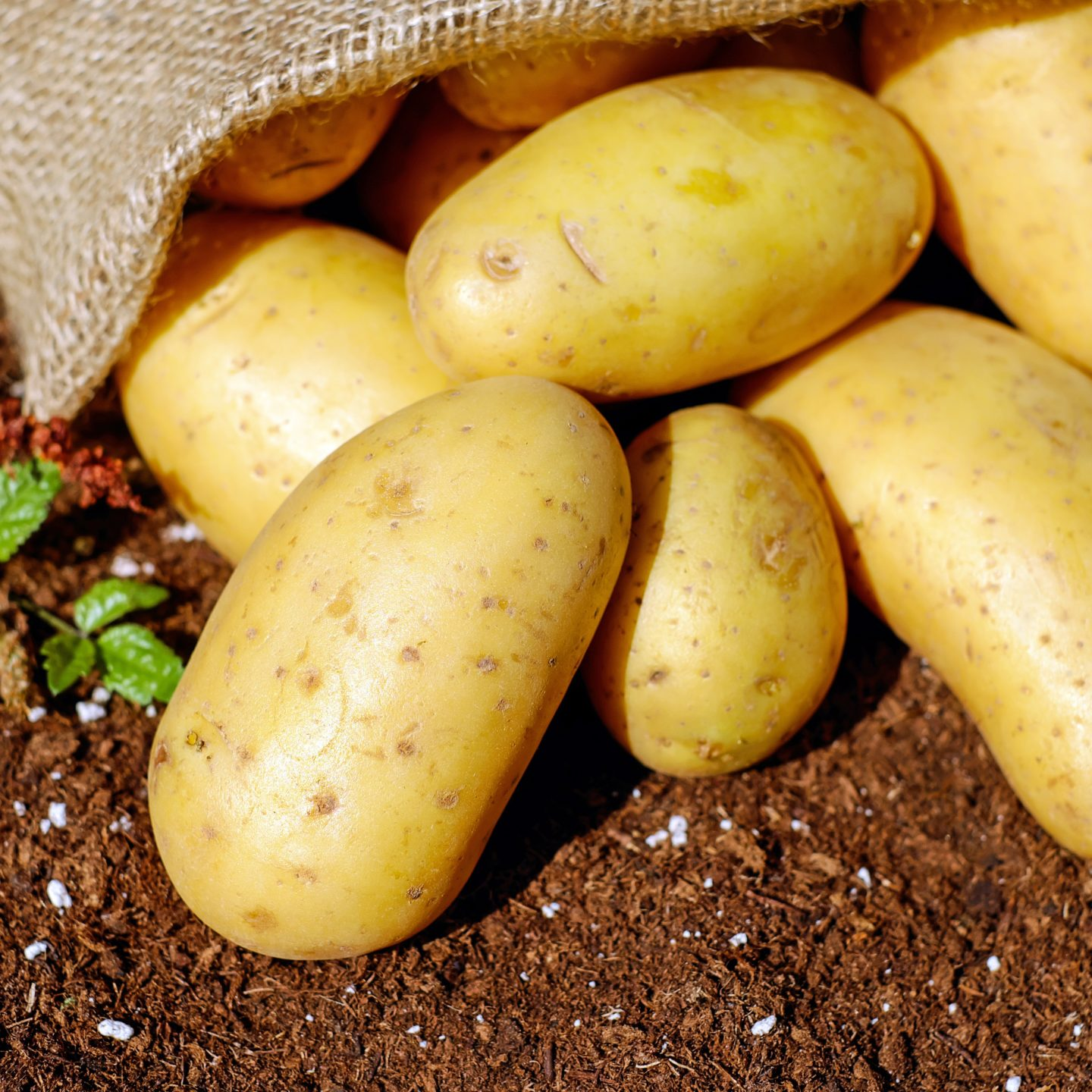 The US Environmental Protection Agency approved three new varieties of GMO potatoes