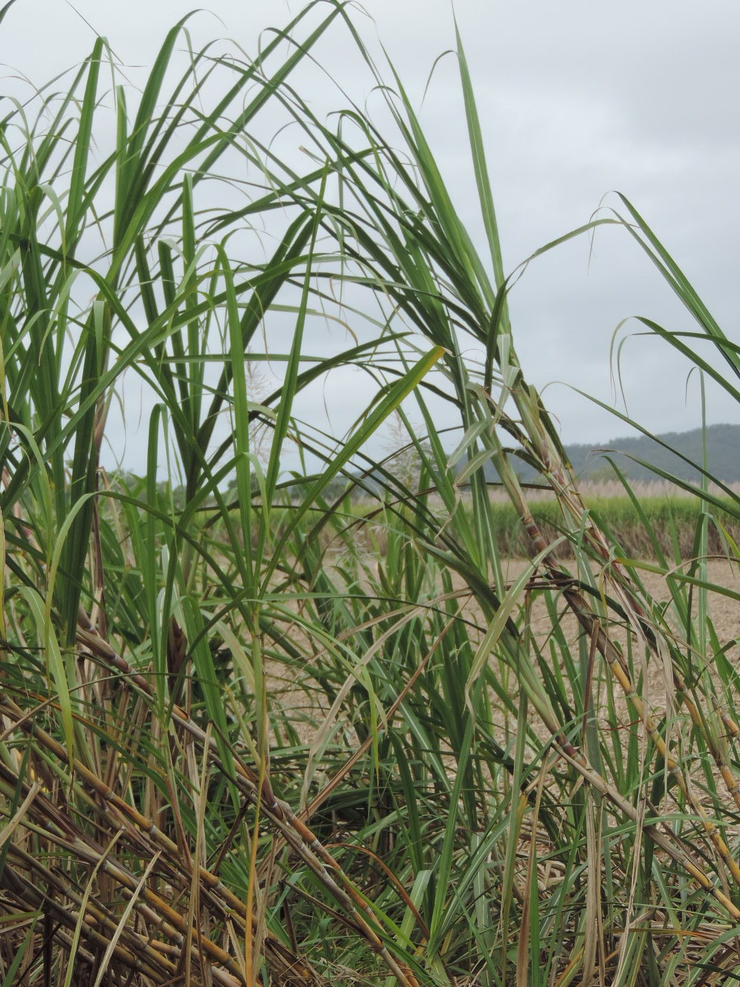 New sugarcane as a feedstock for biodiesel and ethanol