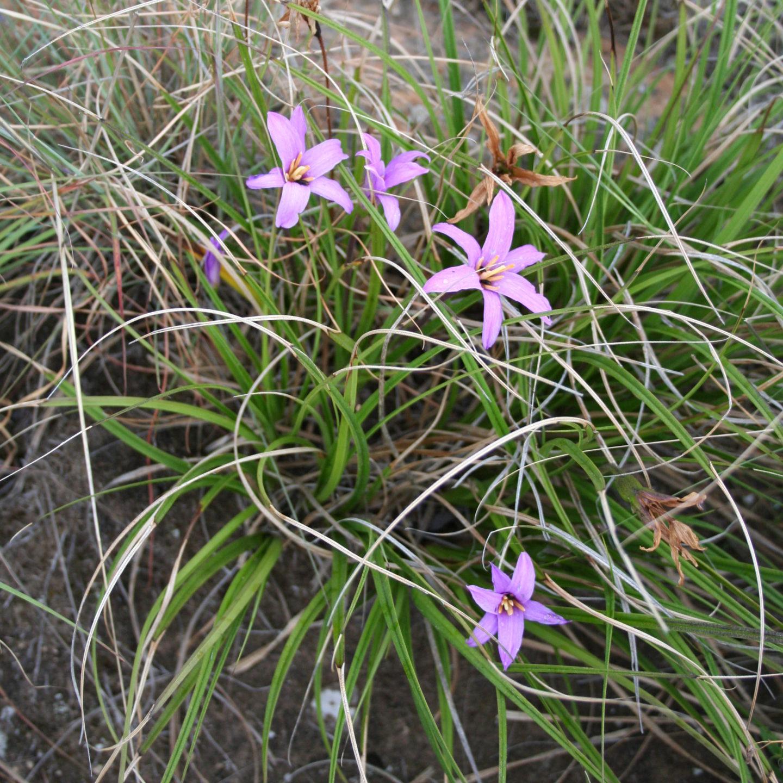Секвениране на генома на възкръсващото растение Xerophyta viscosa – нови насоки към създаване на толерантни към засушаване култури