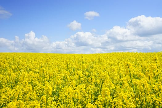 New robust oilseed crop can resist global warming