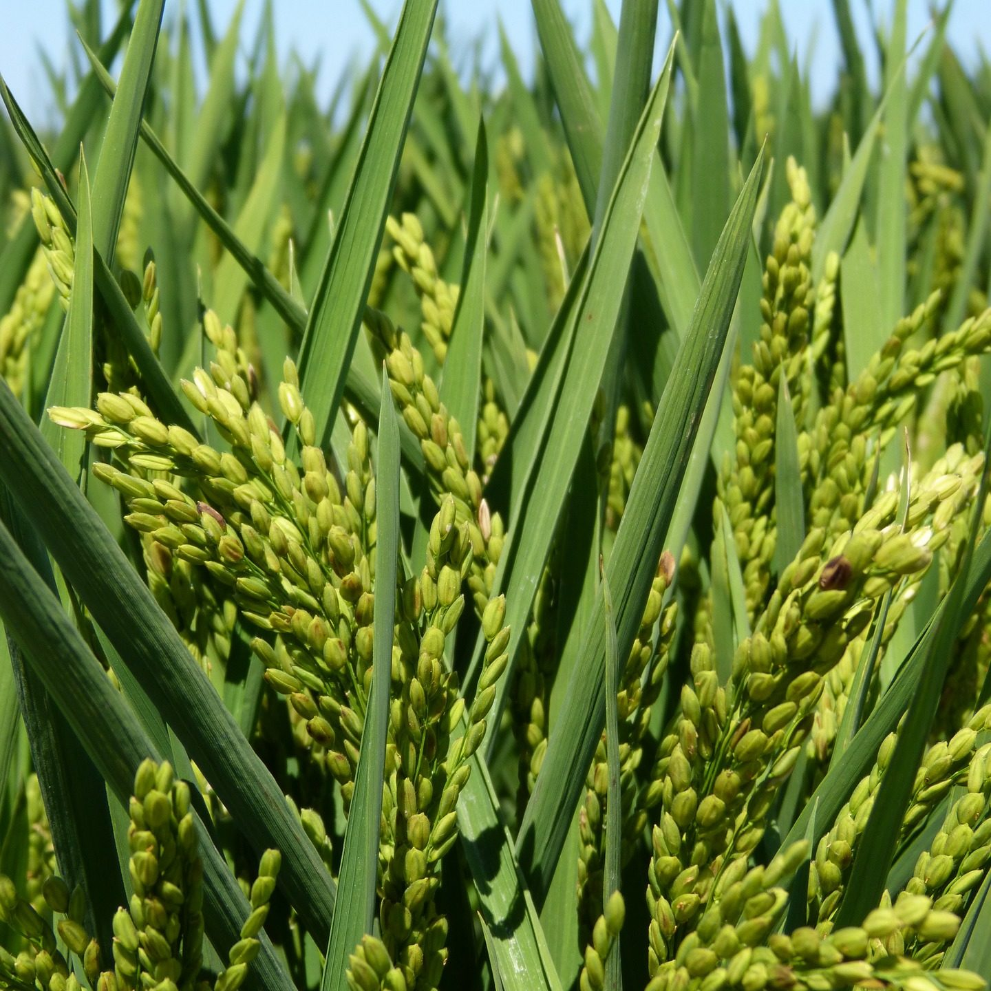 New approach to improve nitrogen use, increase yield and promote flowering in rice