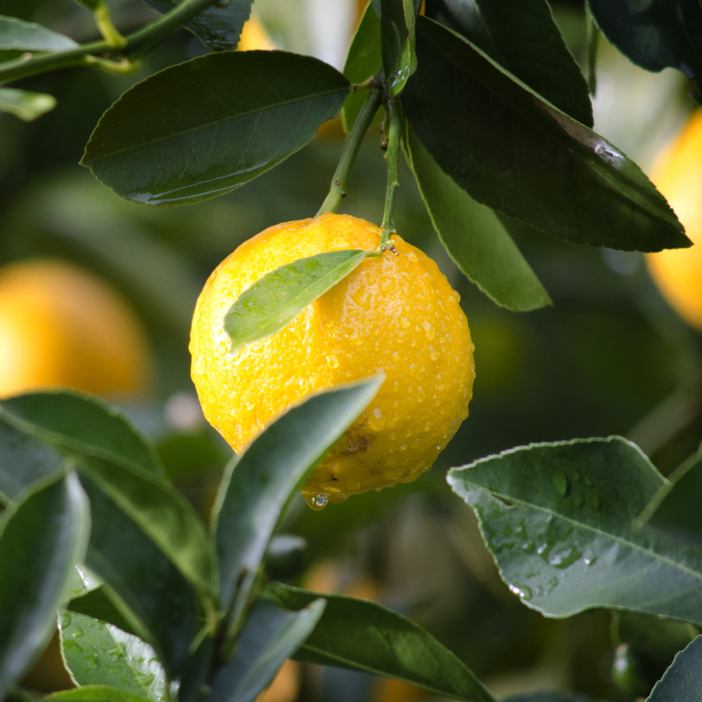 Development of canker-resistant citrus varieties using CRISPR/Cas9