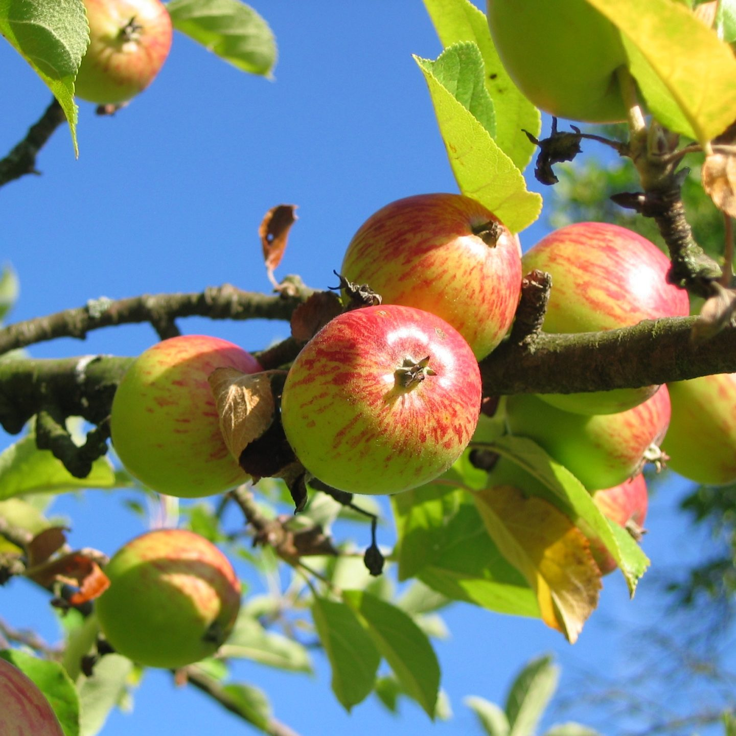 Sequenced apple genome helpful for breeding of new varieties