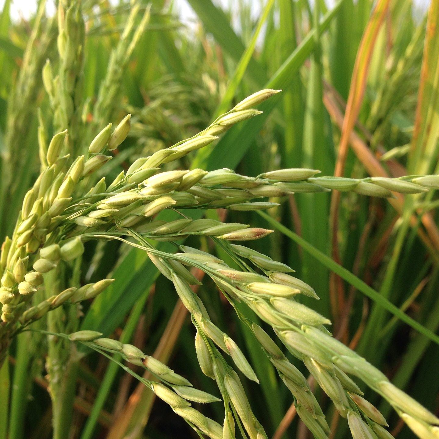 A knockout mutation of SaF /SaM in rice overcomes male sterility in hybrids between indica and japonica
