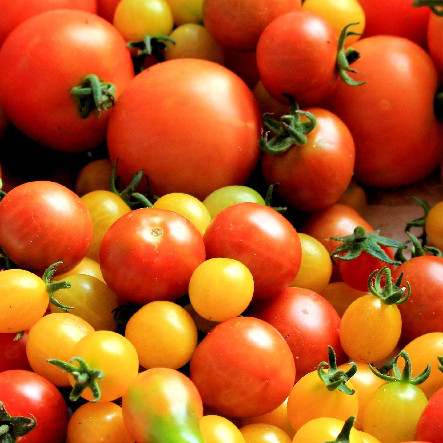 Researchers describe gene that makes large, plump tomatoes