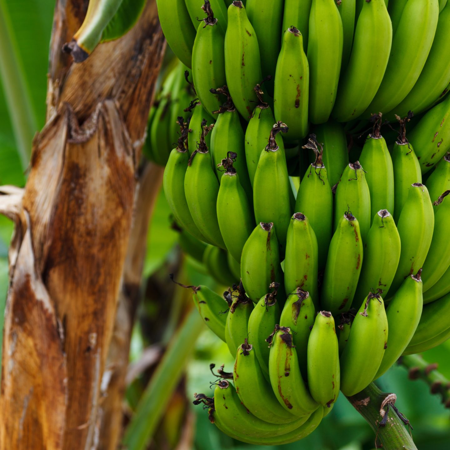 Team grows world-first Panama disease-resistant bananas