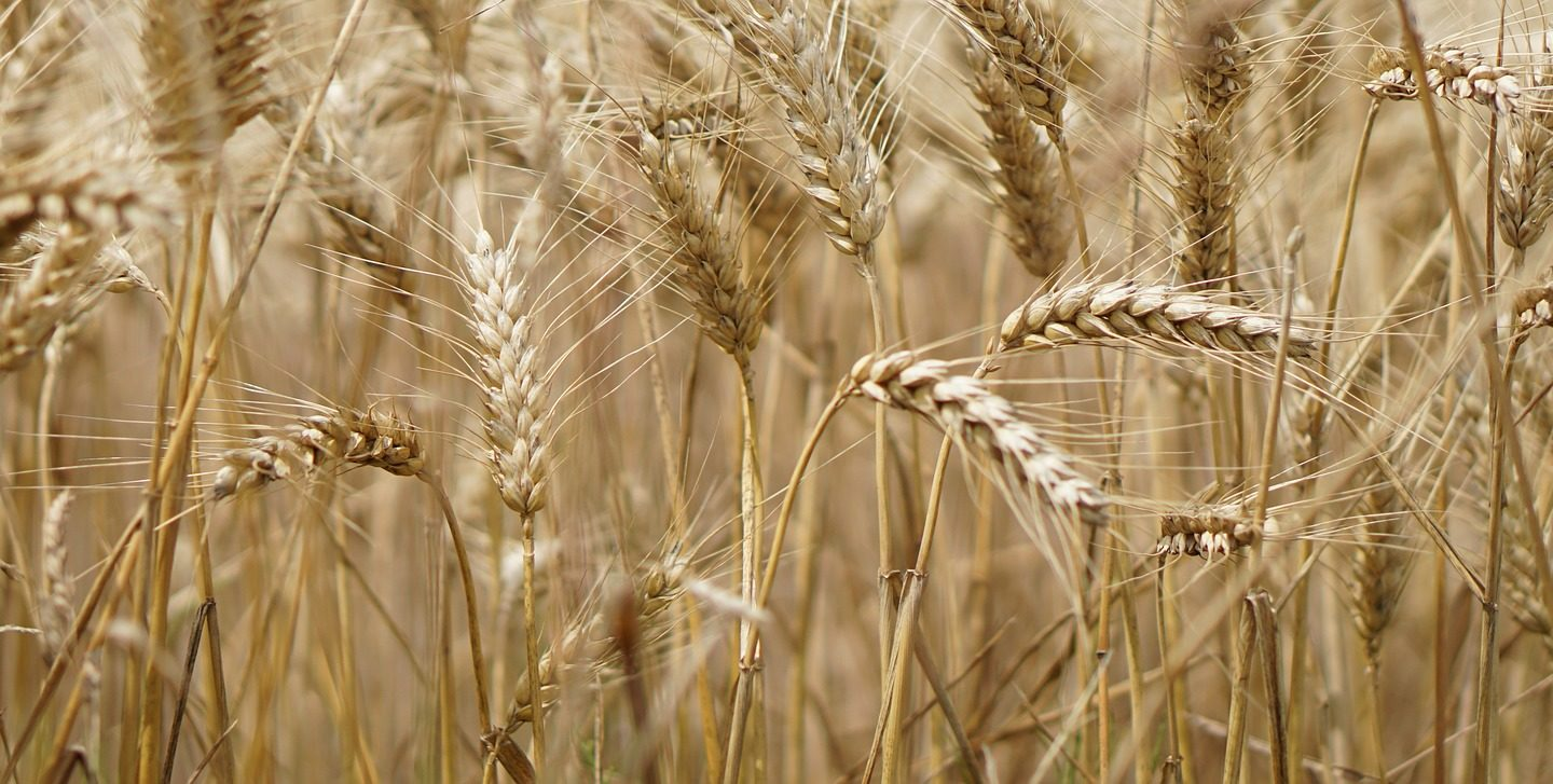 A team of scientists developed new type of wheat with ten times higher fiber content