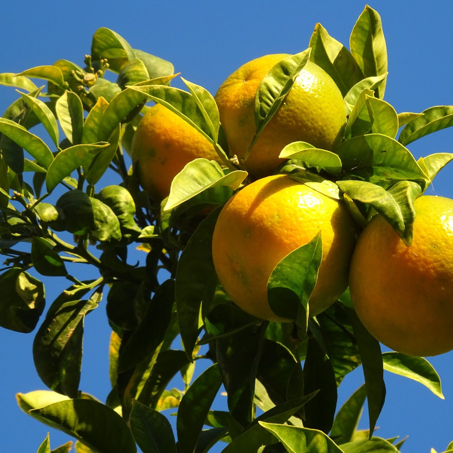Scientists rearrange 'chaotic' citrus family tree