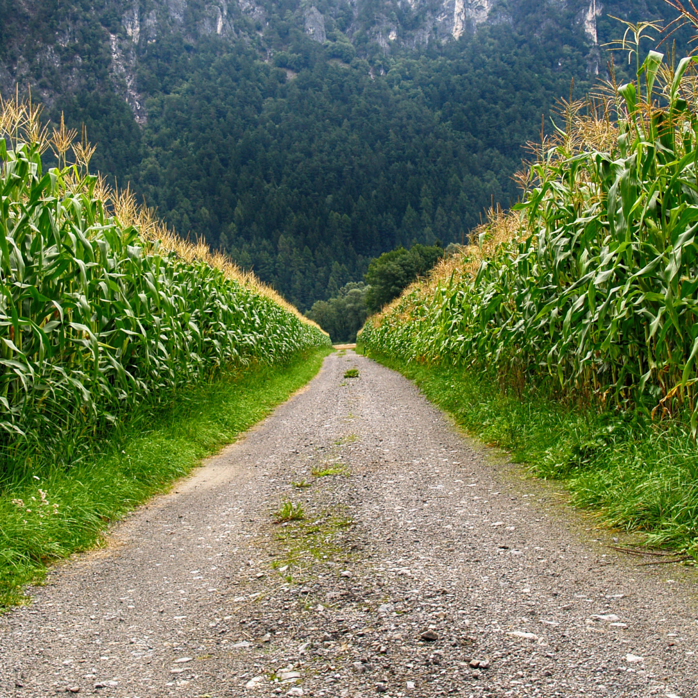After 21 years of GM maize in the fields all over the world – what the scientists say?