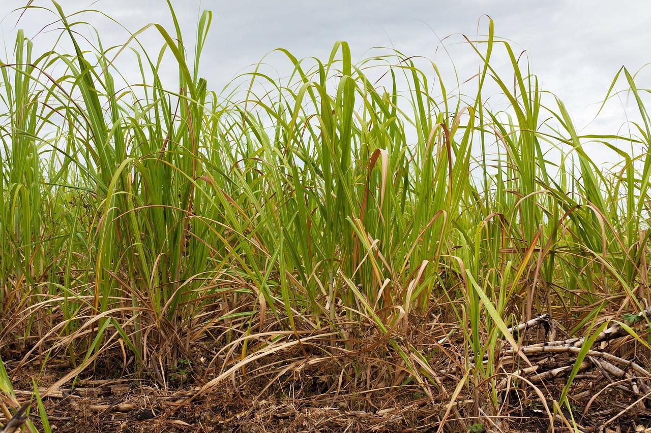 В Бразилия започват да засаждат ГМ захарна тръстика
