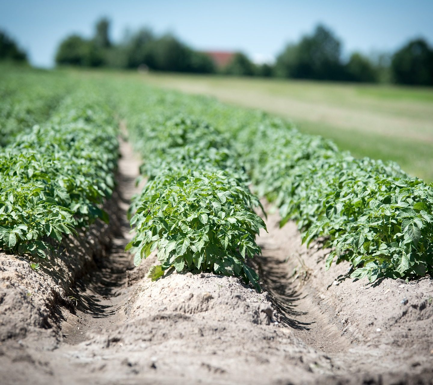 GMO potatoes help to reduce pesticide application by up to 90%