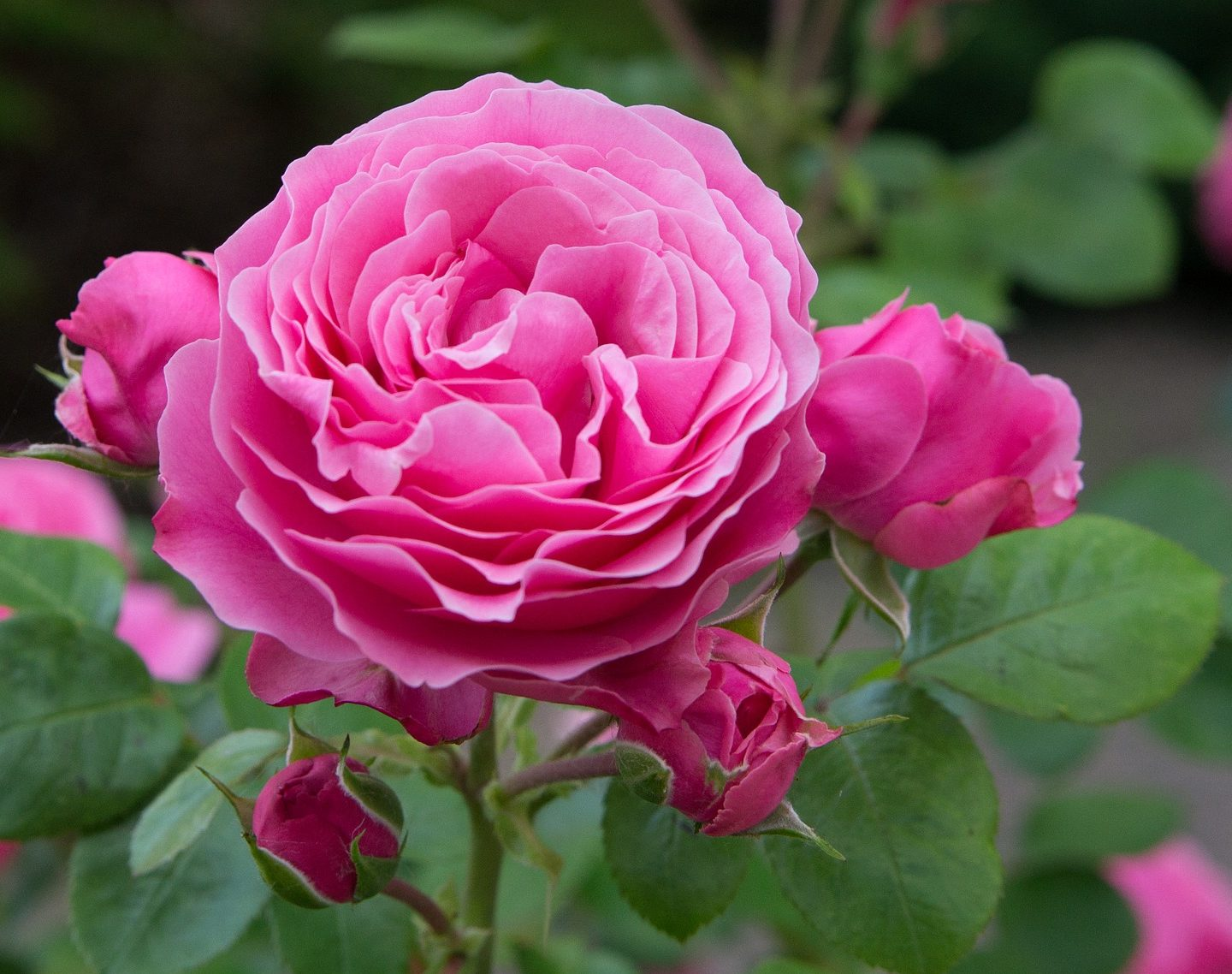 The sequenced genome of roses creates new opportunities for scientists to develop new cultivars of ornamental and oil-bearing roses