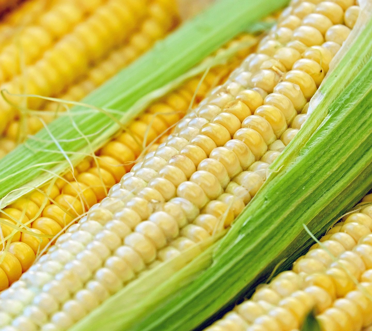 Европейски проучвания опровергават твърденията на френския учен Сералини за ГМ царевица