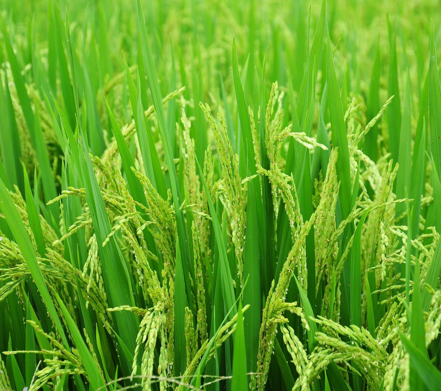Rice with fewer stomata requires less water and is better suited for climate change