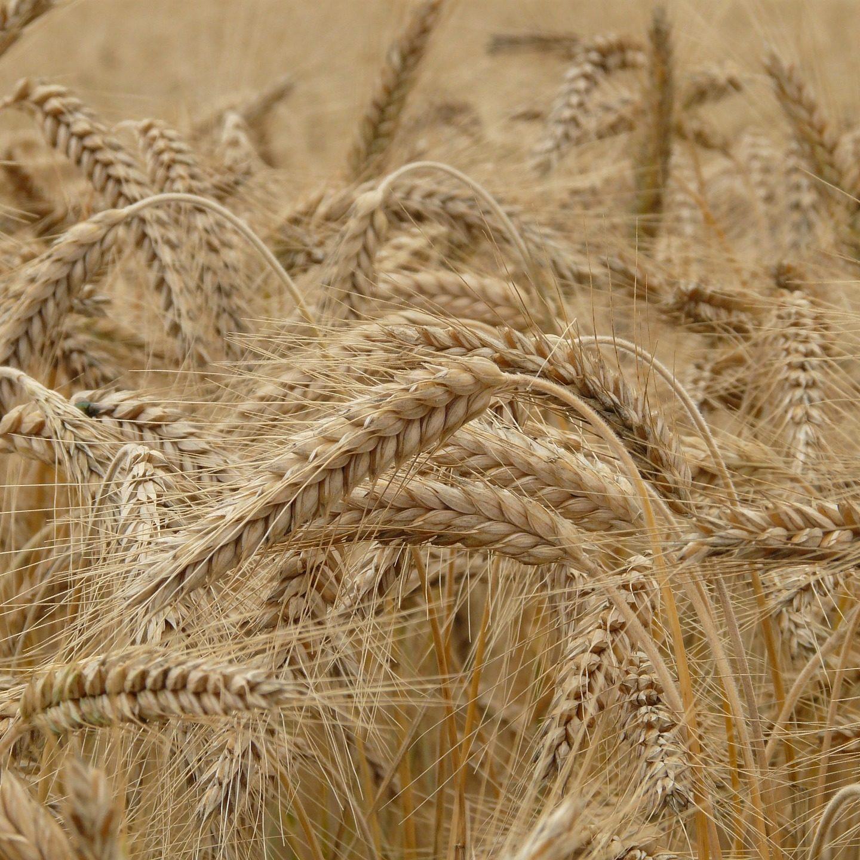 Кодът на пшеницата е разчетен