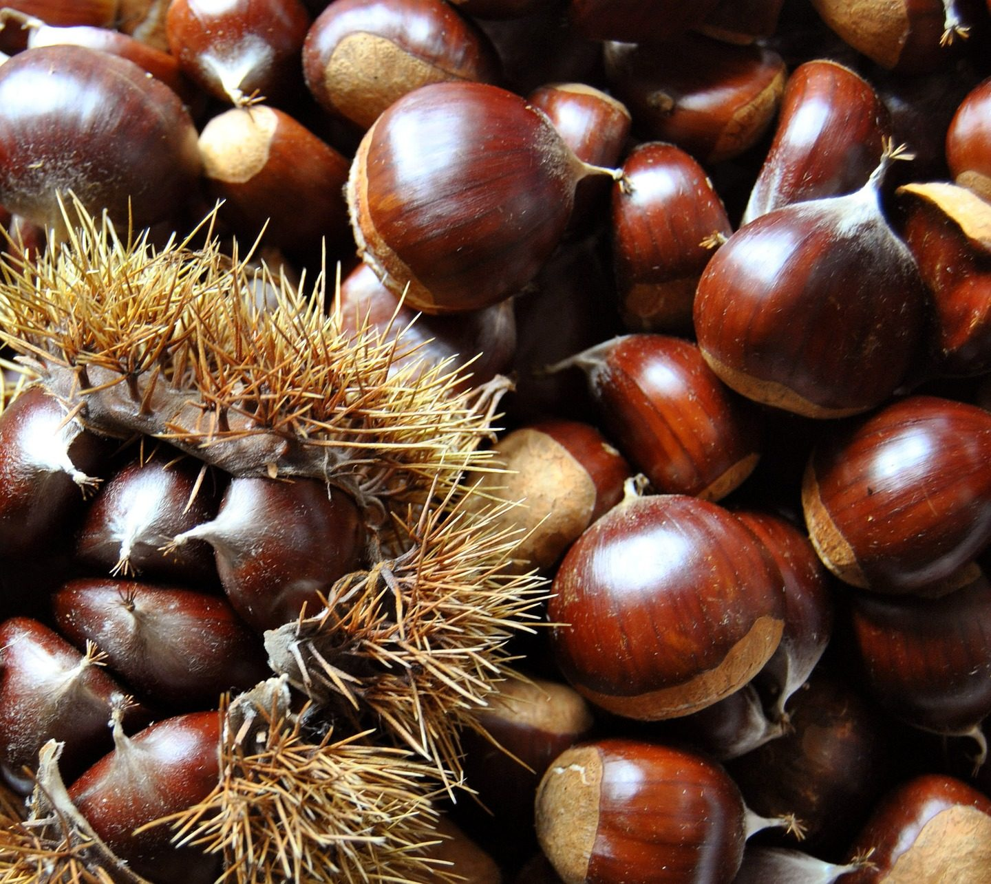 Researchers plan to release transgenic chestnut to save the tree