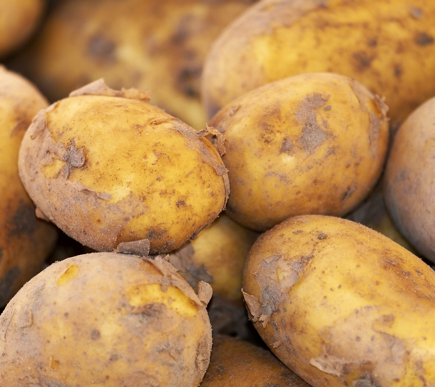 Scientists develop transgenic potato with enhanced tuber quality and stress tolerance