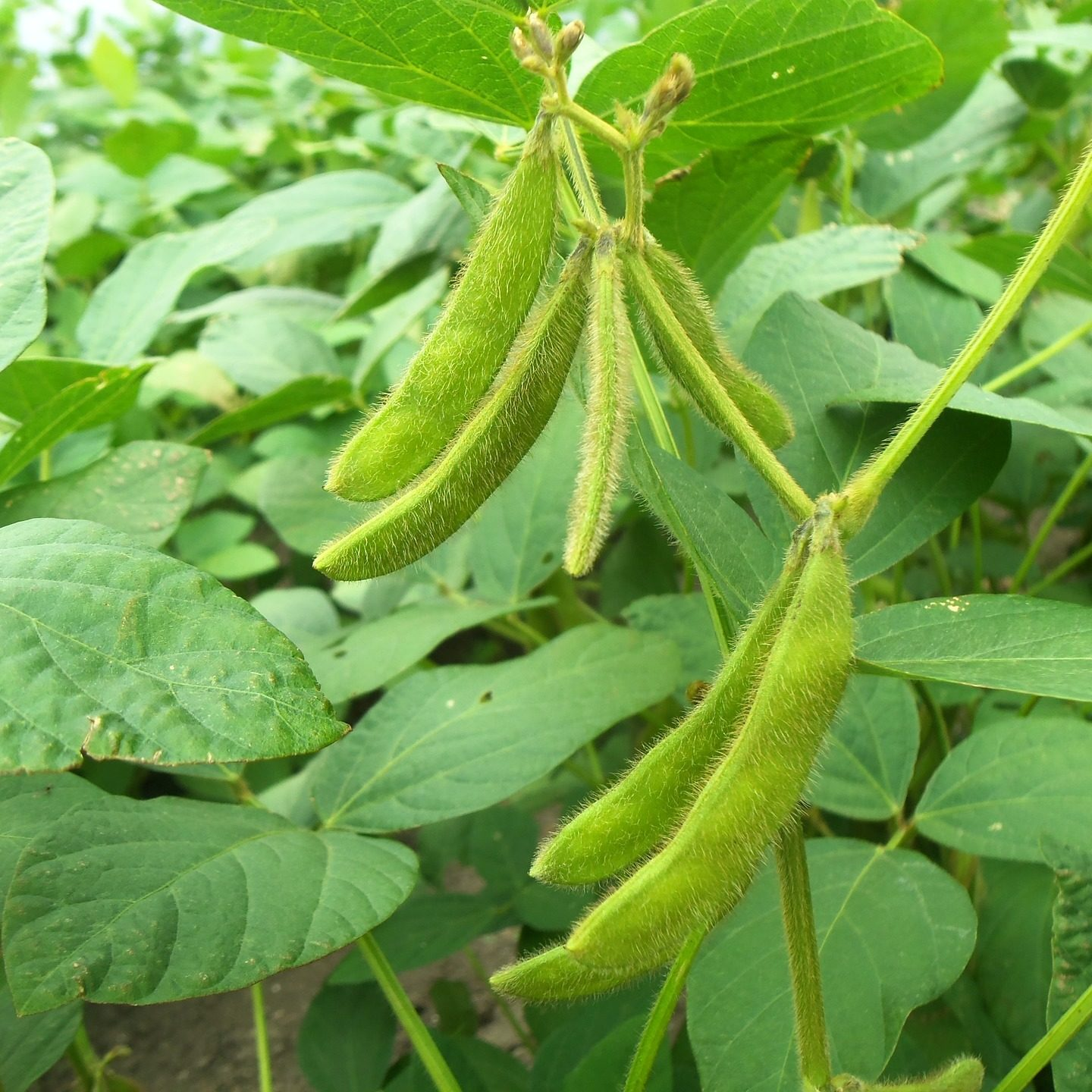 """Fooling"" soybeans yields better plants a generation later"