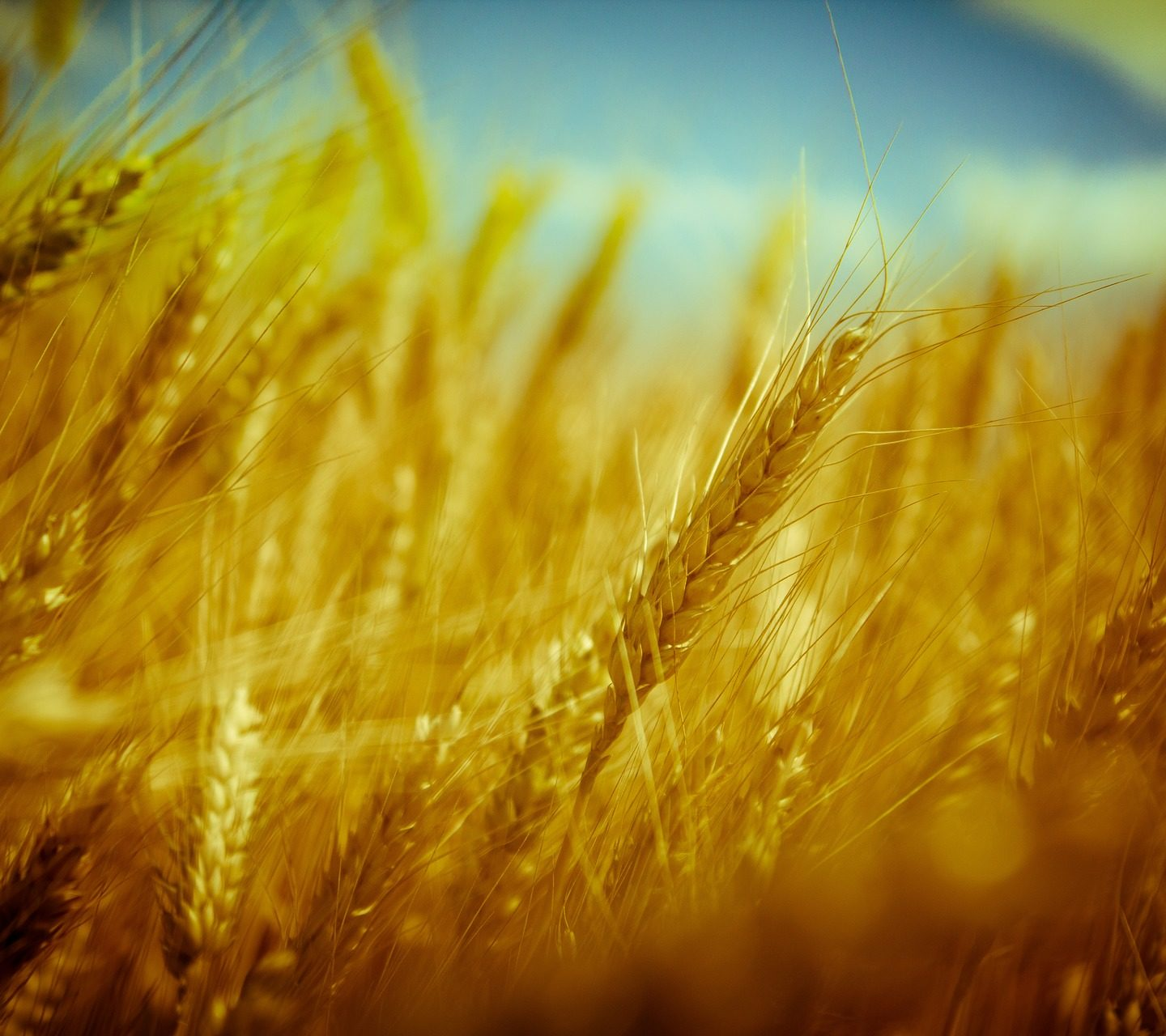 CRISPR-Cas9 delivered in wheat using Agrobacterium