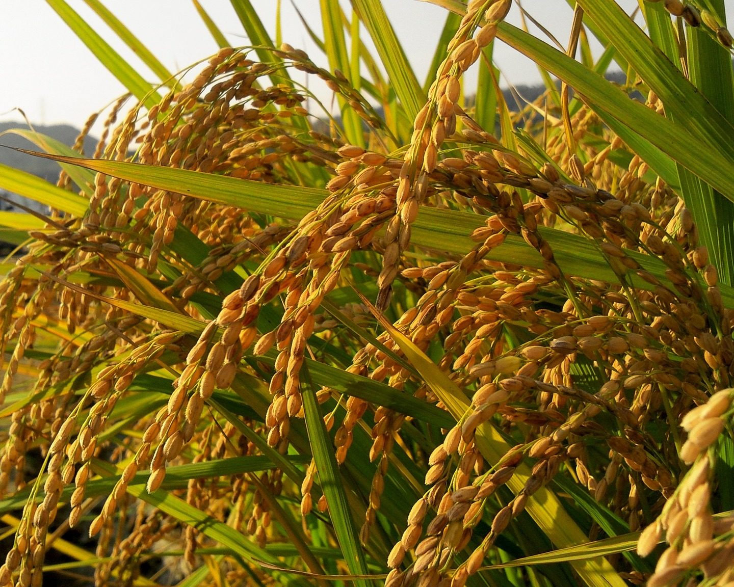 Rice plants that grow as clones from seed