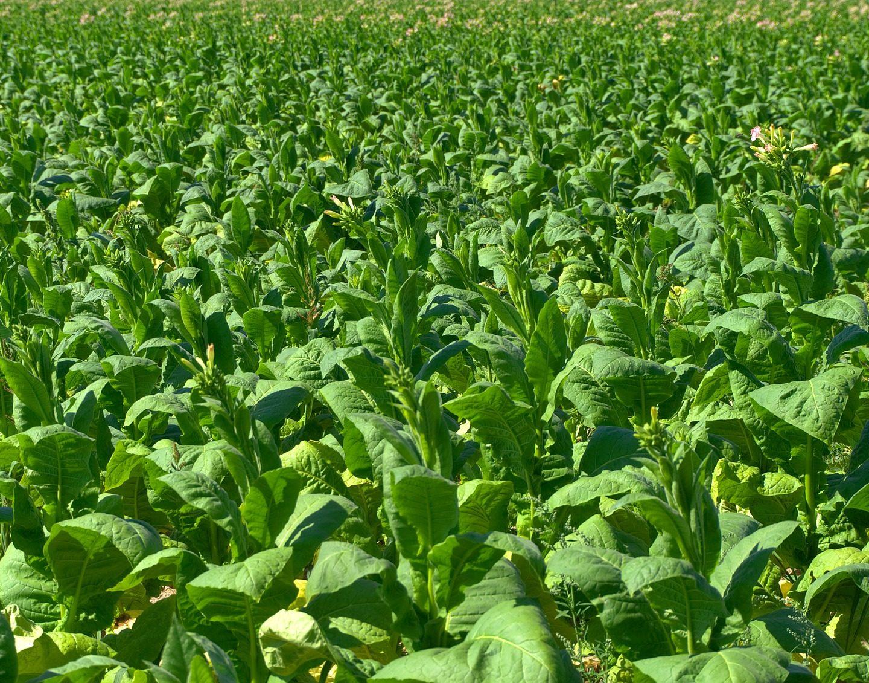 Растенията-ефективни фабрики за противогъбични белтъци