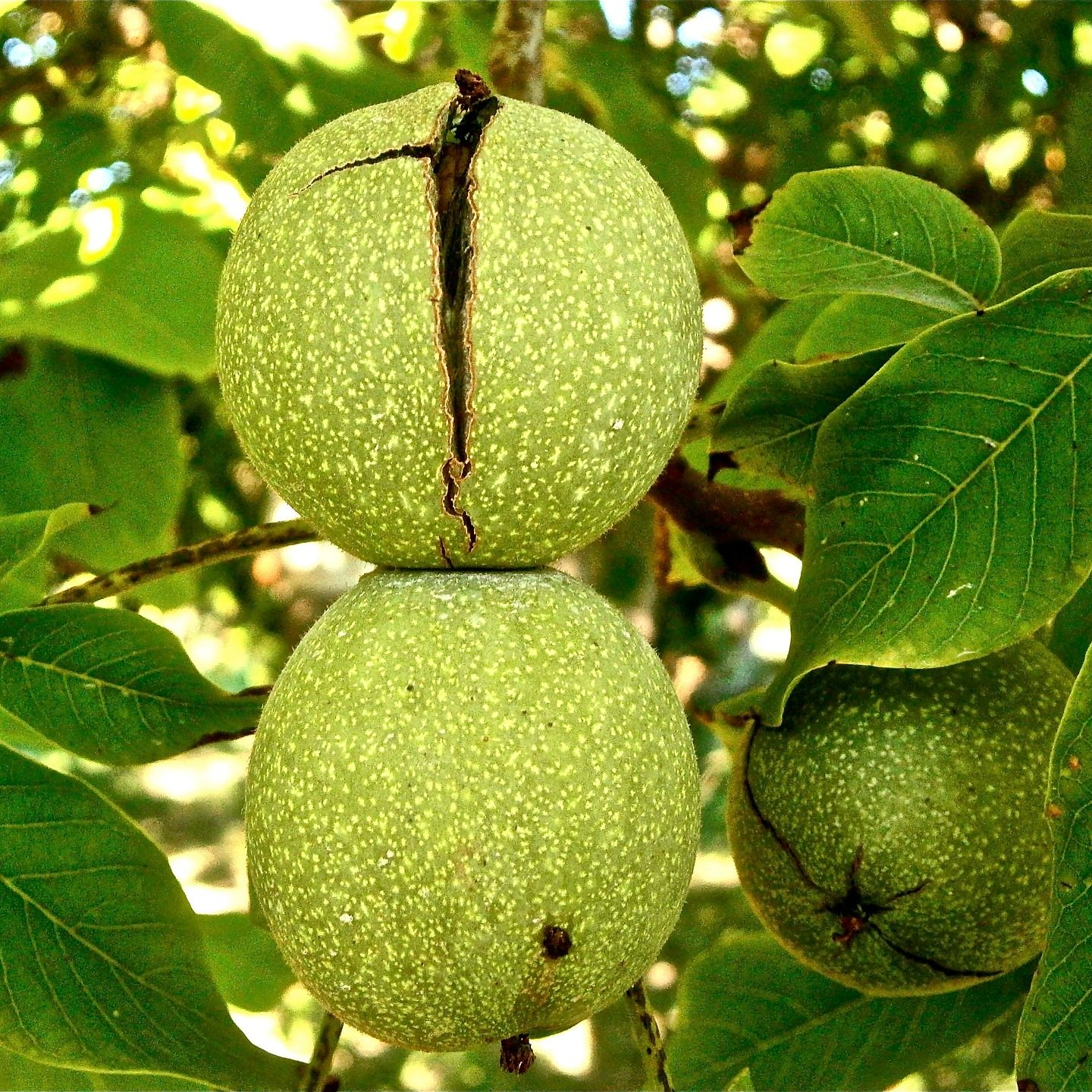 Deciphering the walnut genome