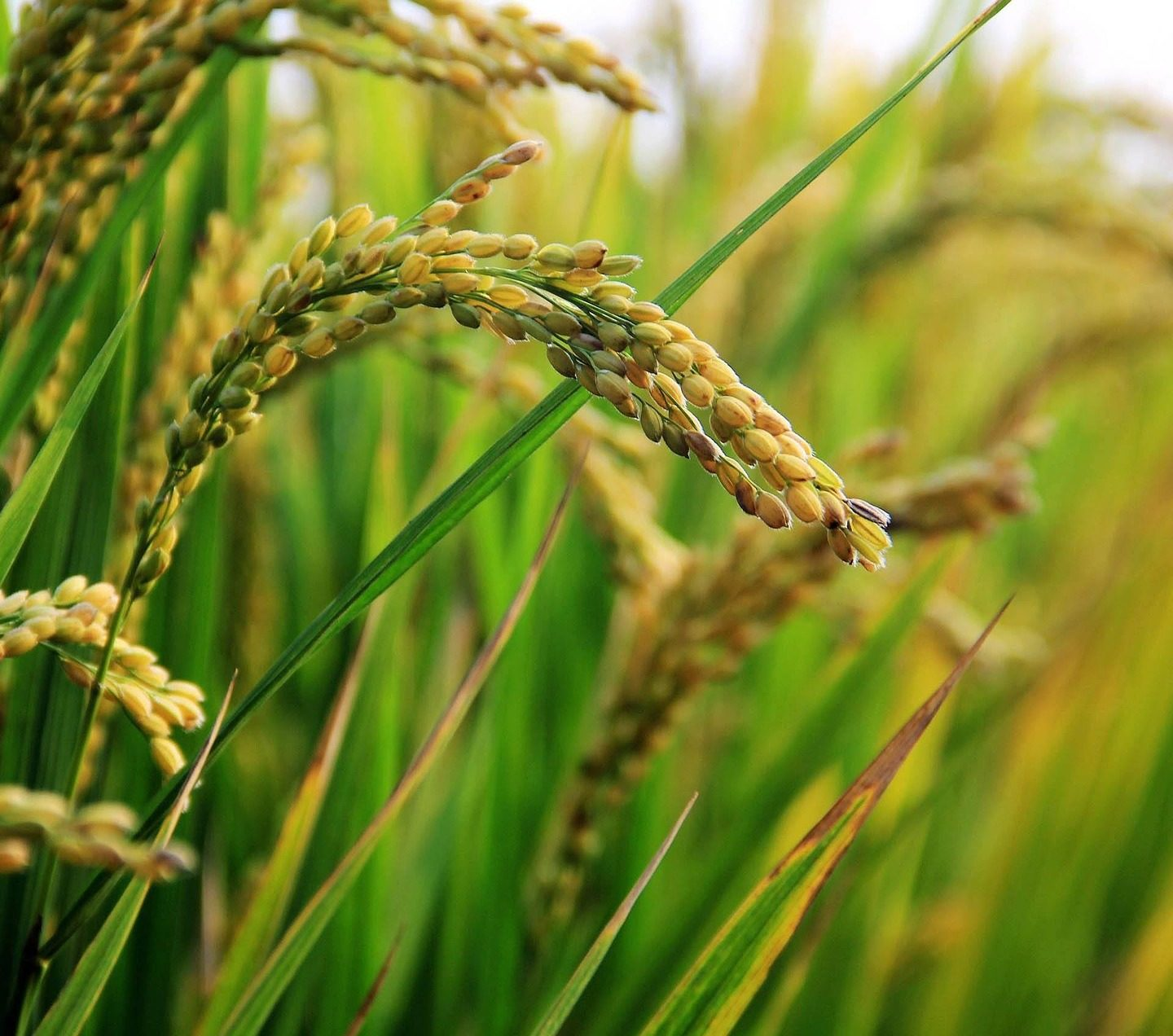 Salt tolerant rice variety developed in India