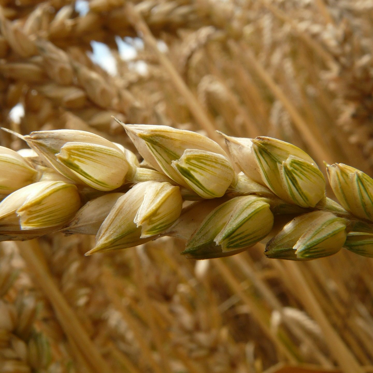 Iron-rich GM wheat set to undergo field trials