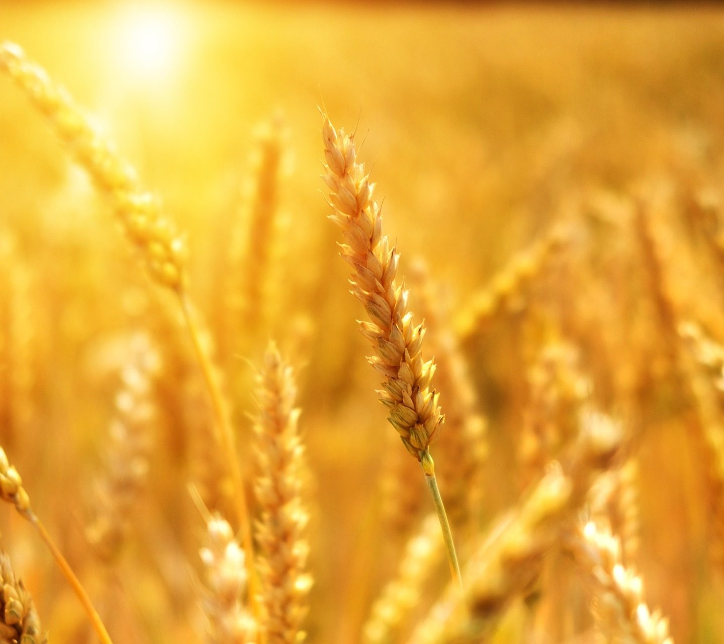 Rain-resistant wheat developed using genome editing