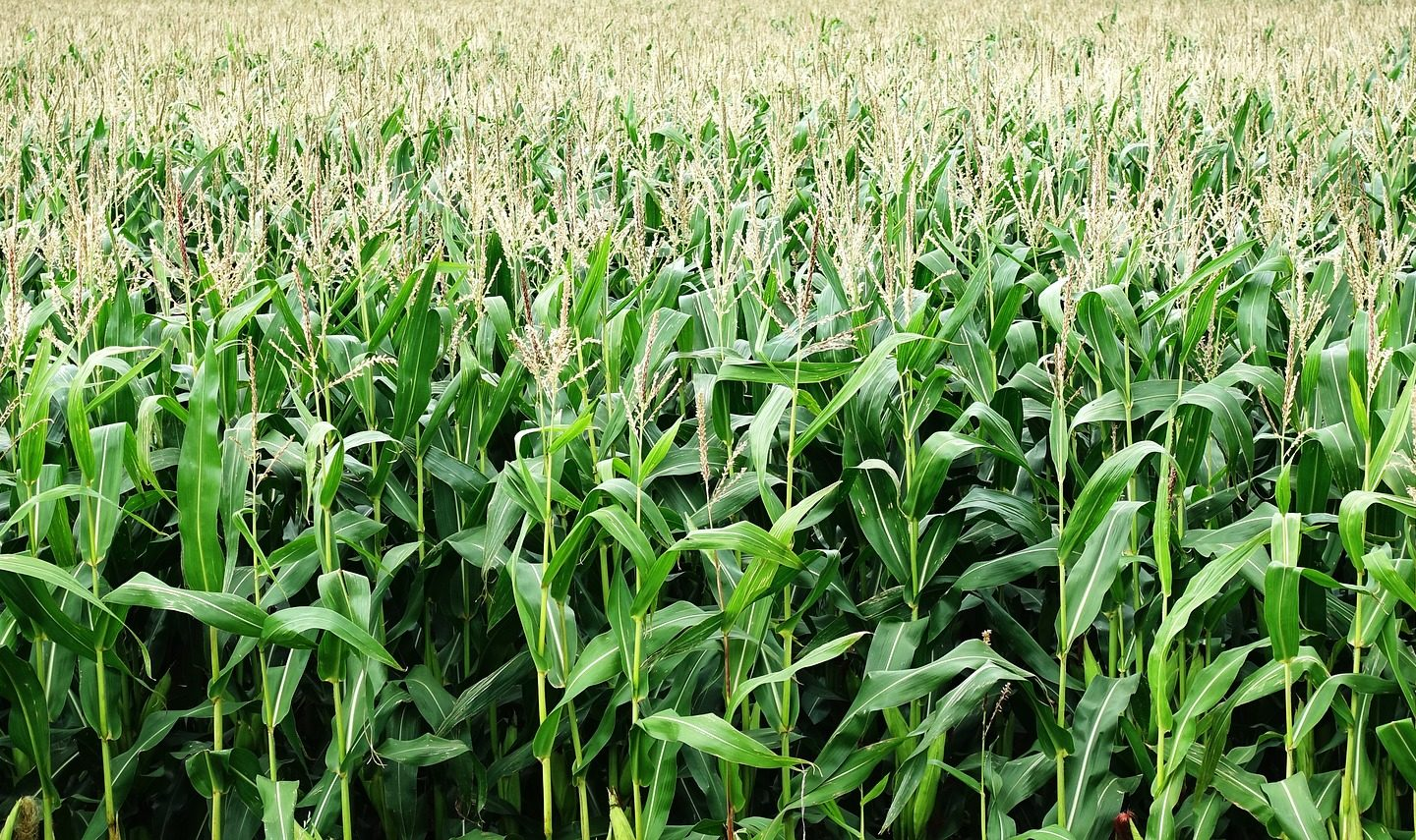 Scientists improve antioxidant content of maize