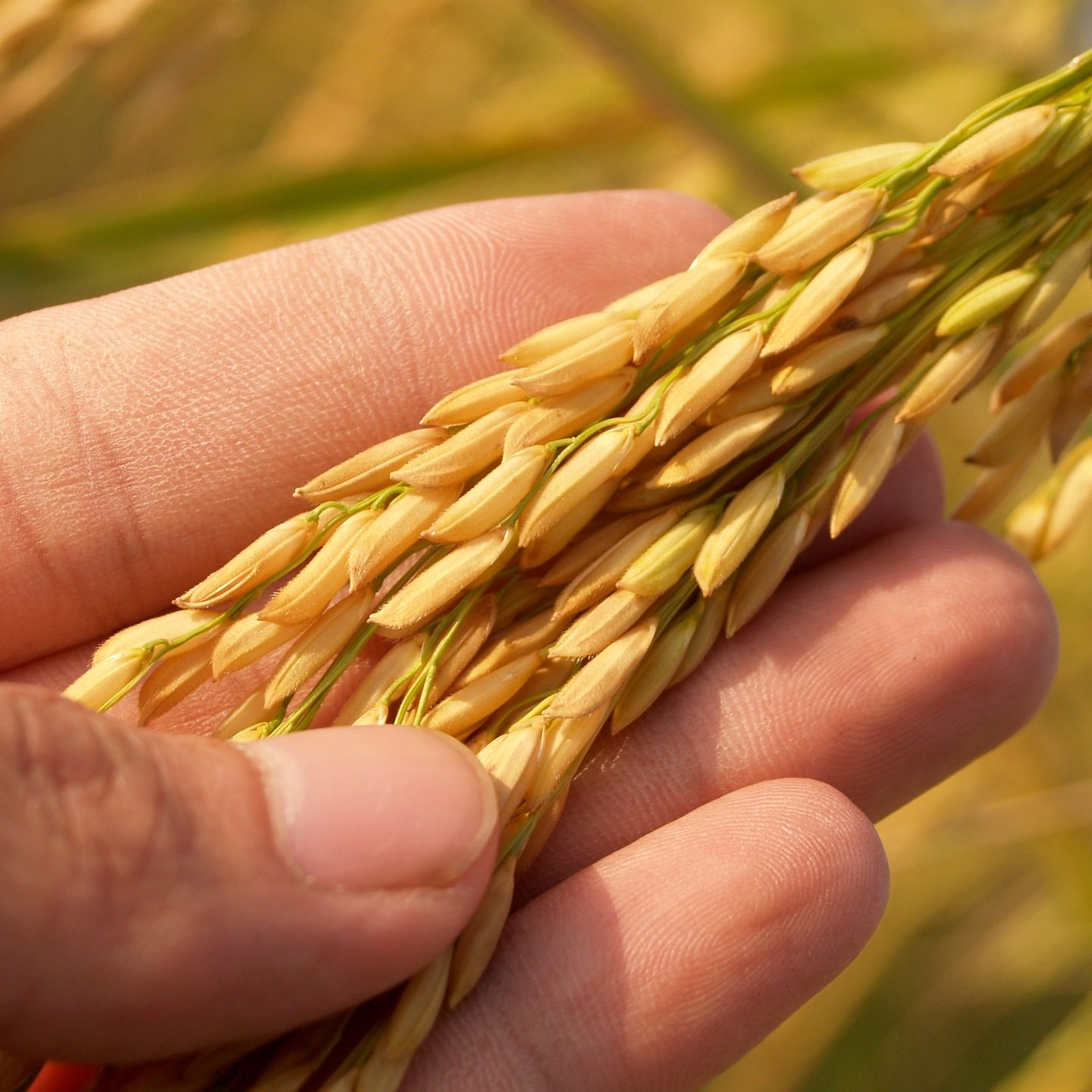 Rice genetically engineered to resist extreme heat also produces up to 20% more grain
