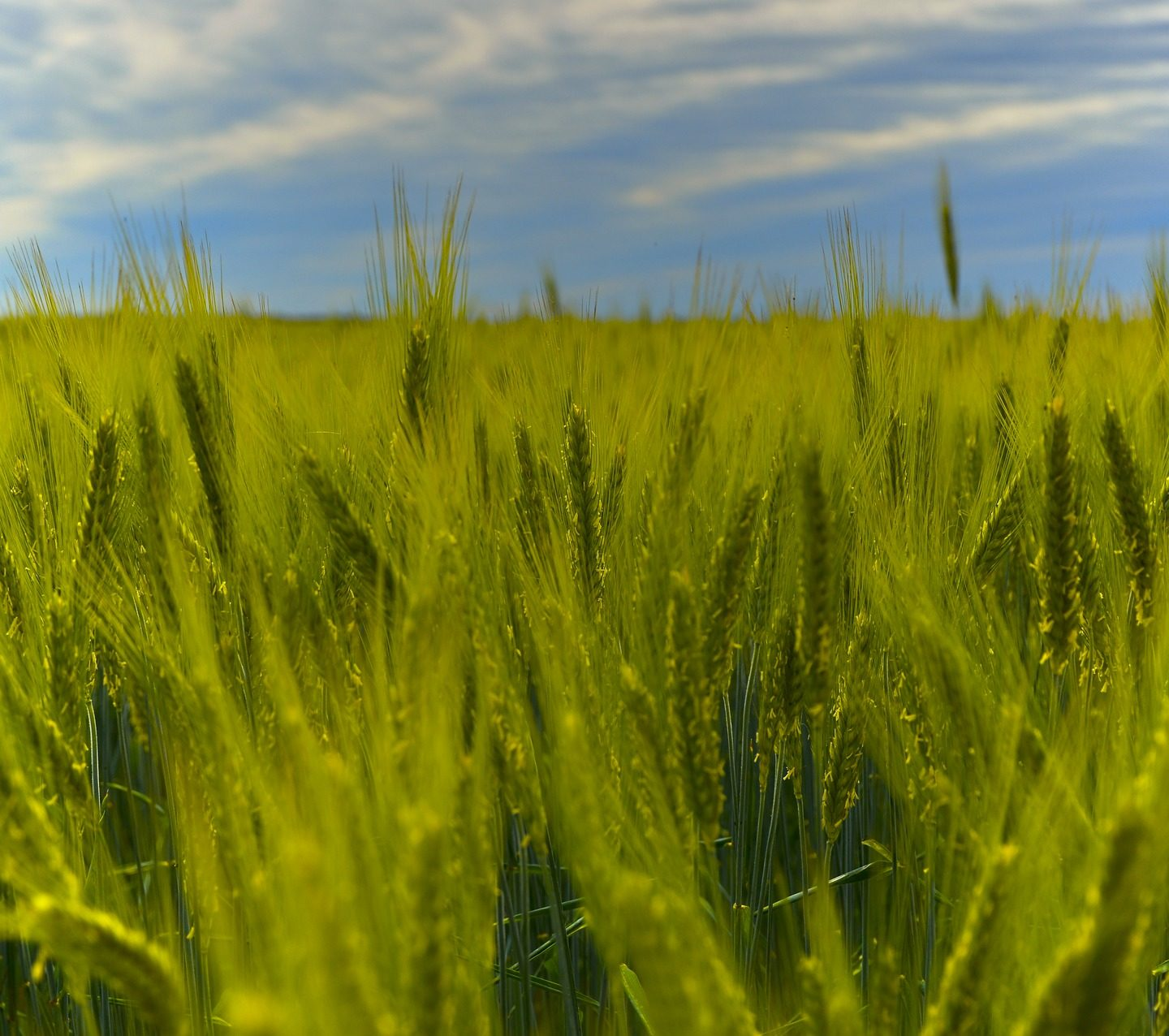 International Research Team Releases Rye Genome Sequence