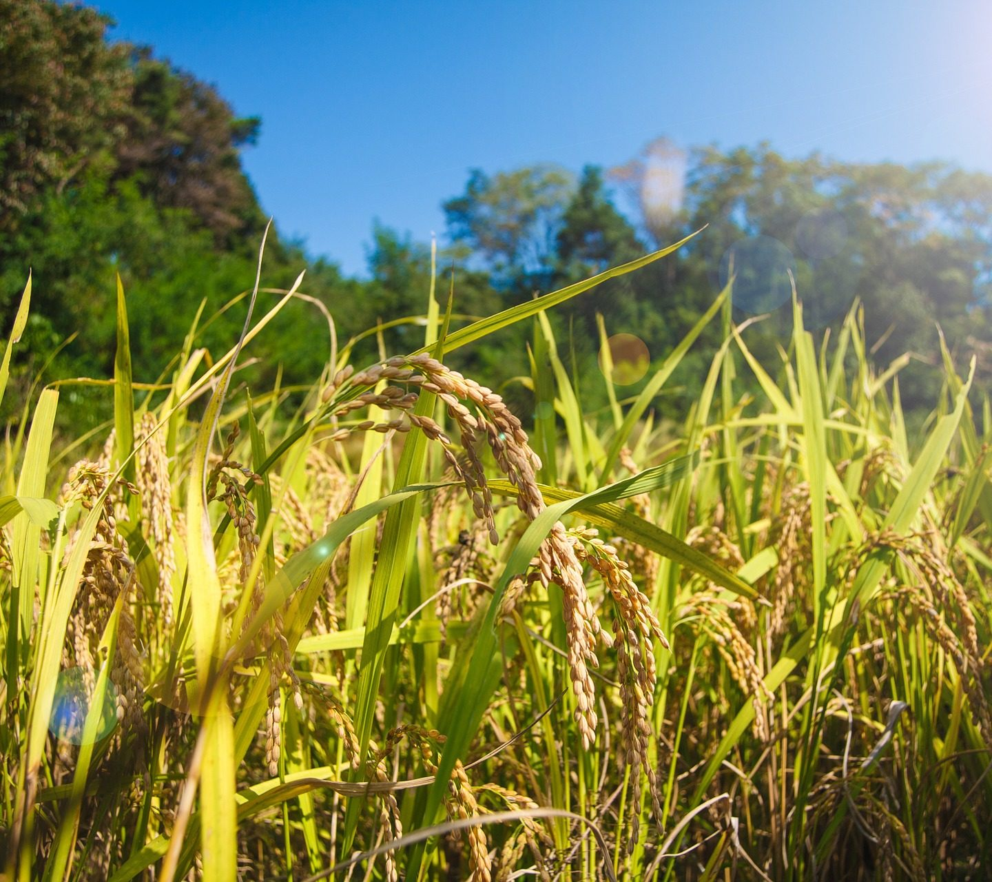 RNA breakthrough creates rice and potatoes that grow 50% more; Tolerate drought