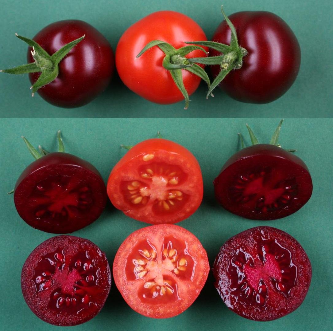 Genetic engineering and beetroot dye tomatoes purple