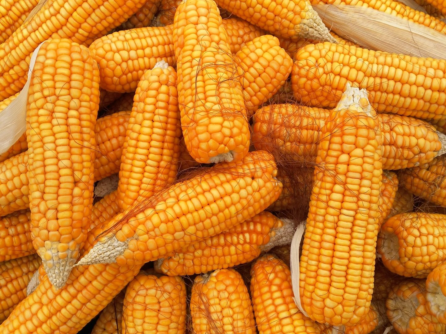 Aflatoxine-fee maize by using biotechnological approach