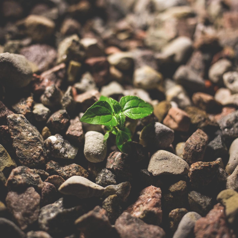 Изследователи от Университета на щата Айова разкриват генетичен механизъм за контрол на растежа и отговора на засушаване при растенията
