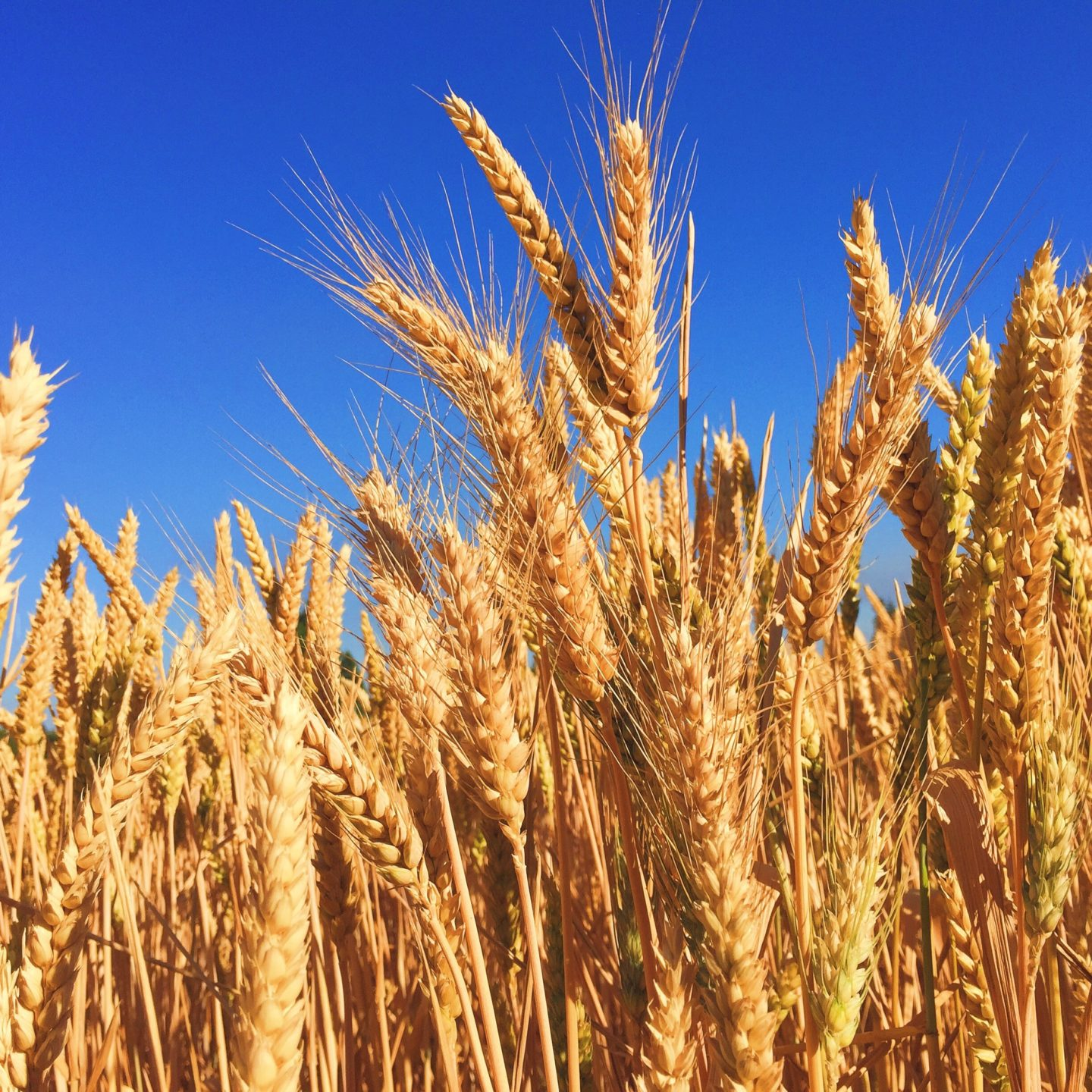 Analysis of bread wheat pangenome reveals significant variation in the number of genes among different varieties