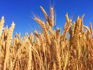 Анализ на пангенома при хлебната пшеница показва значително вариране в броя гени при отделните сортове