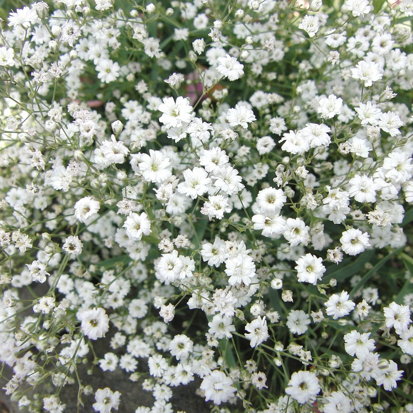 Imaginature Ltd seeks approval for field trials of GM Gypsophila in Kenya