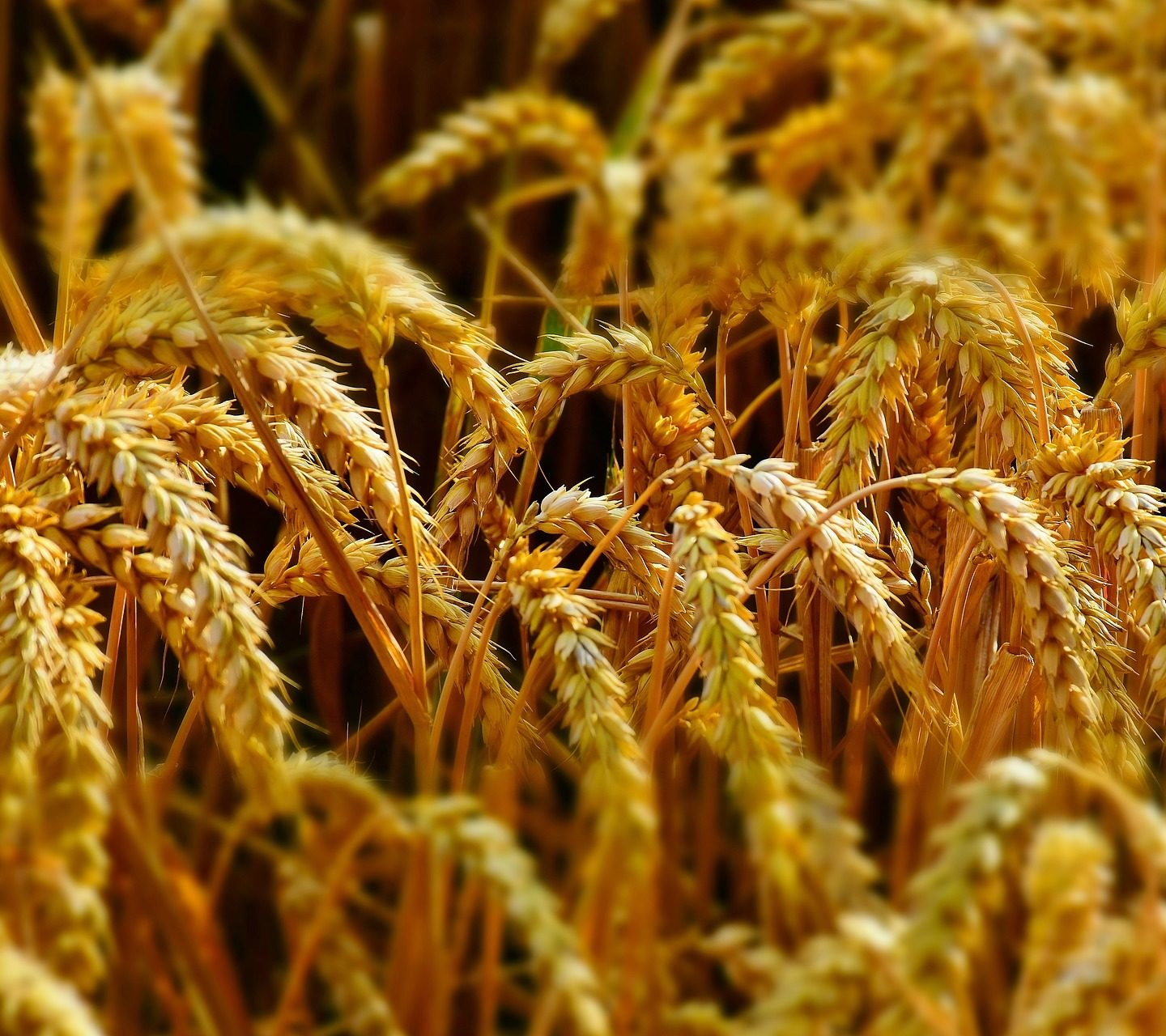 Argentina first in the world to approve drought tolerant HB4® Wheat