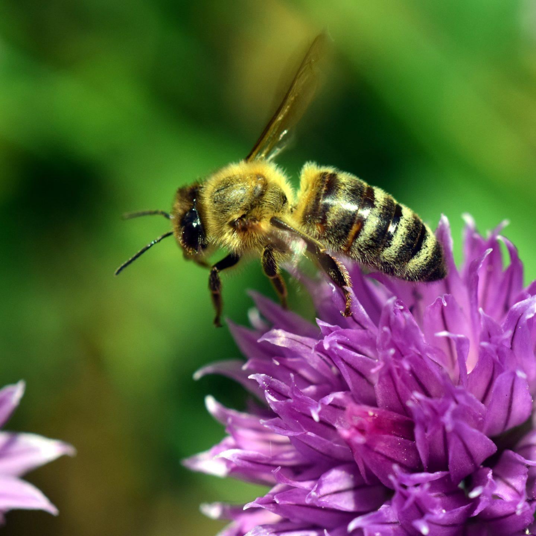 Тhree pesticides harm bees, says EU food agency
