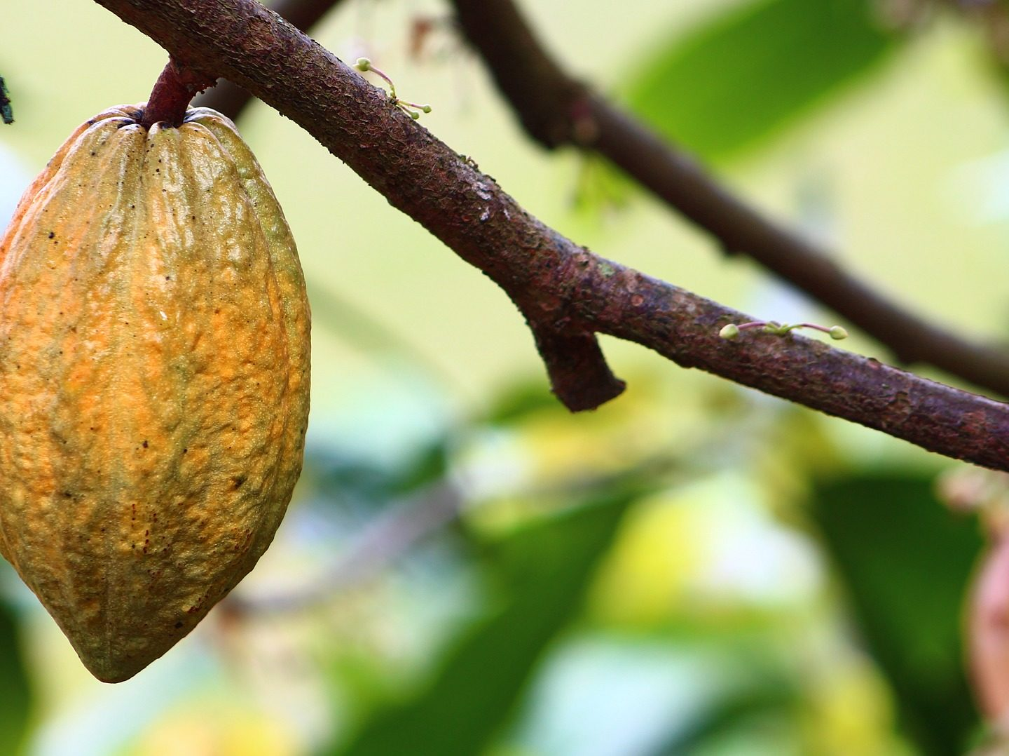 Gene editing shows promise for improving the 'chocolate tree'
