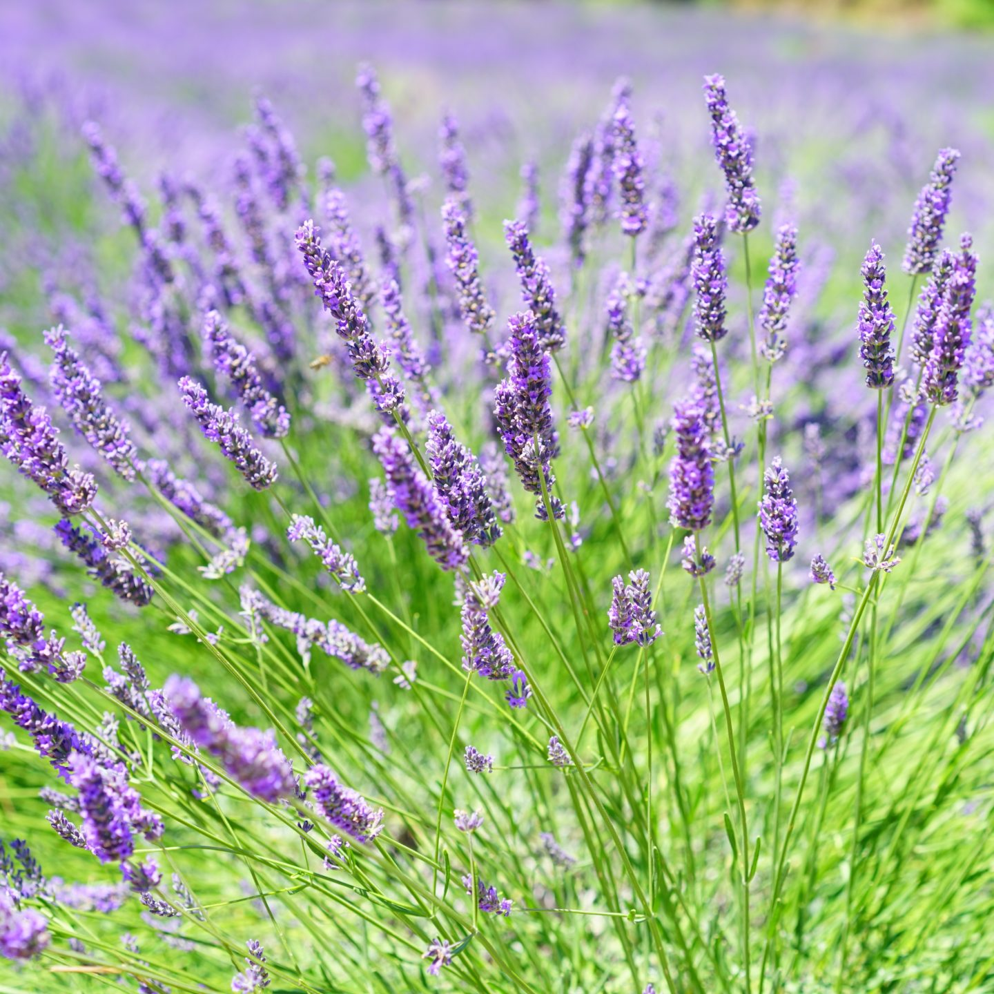 Research team cracks lavender genome