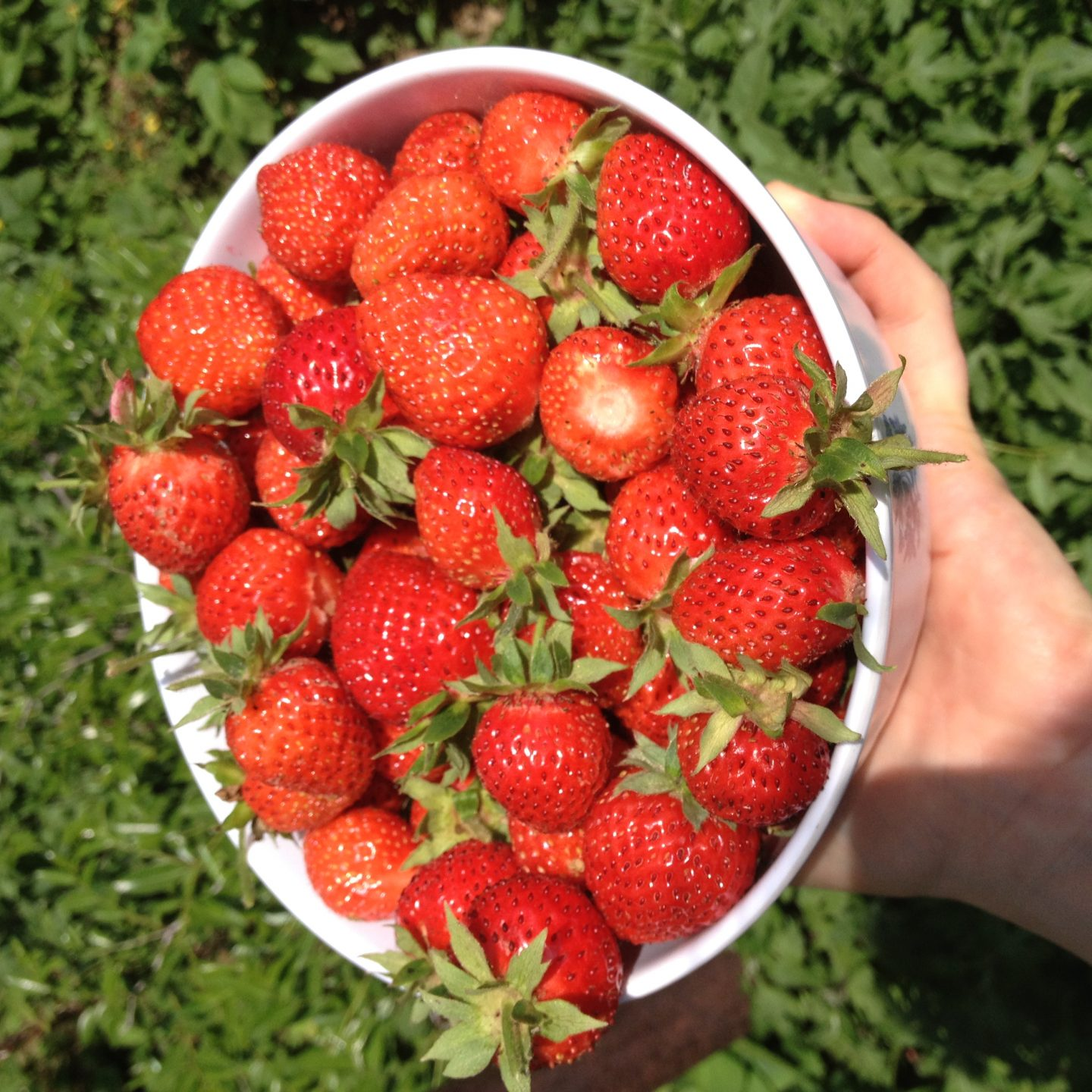 International team of scientists sequence the genome of cultivated strawberry