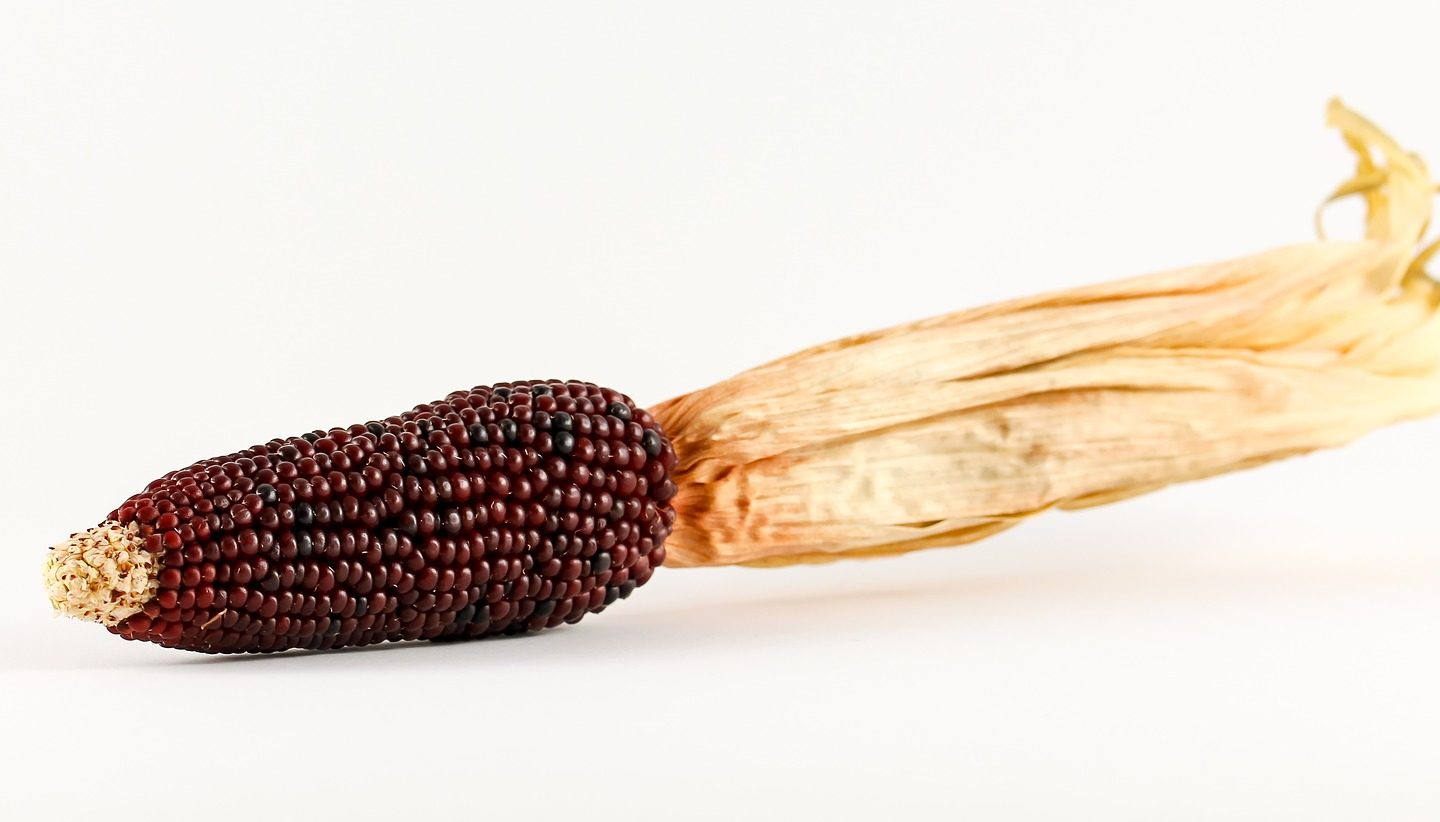 Phenols in purple corn fight diabetes, obesity, inflammation in mouse cells
