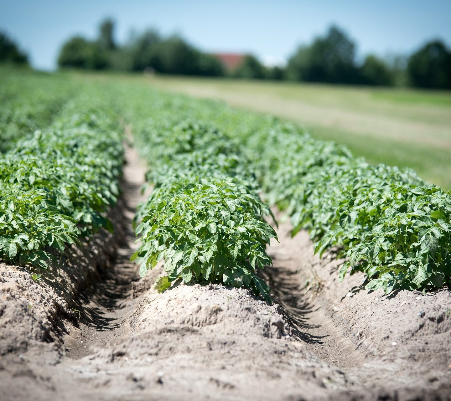 How potatoes could become sun worshippers