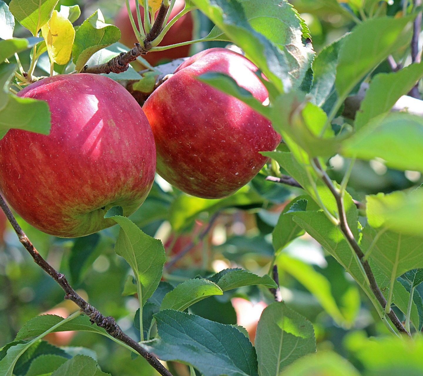 Scientists use CRISPR to develop apples Resistant to fire blight