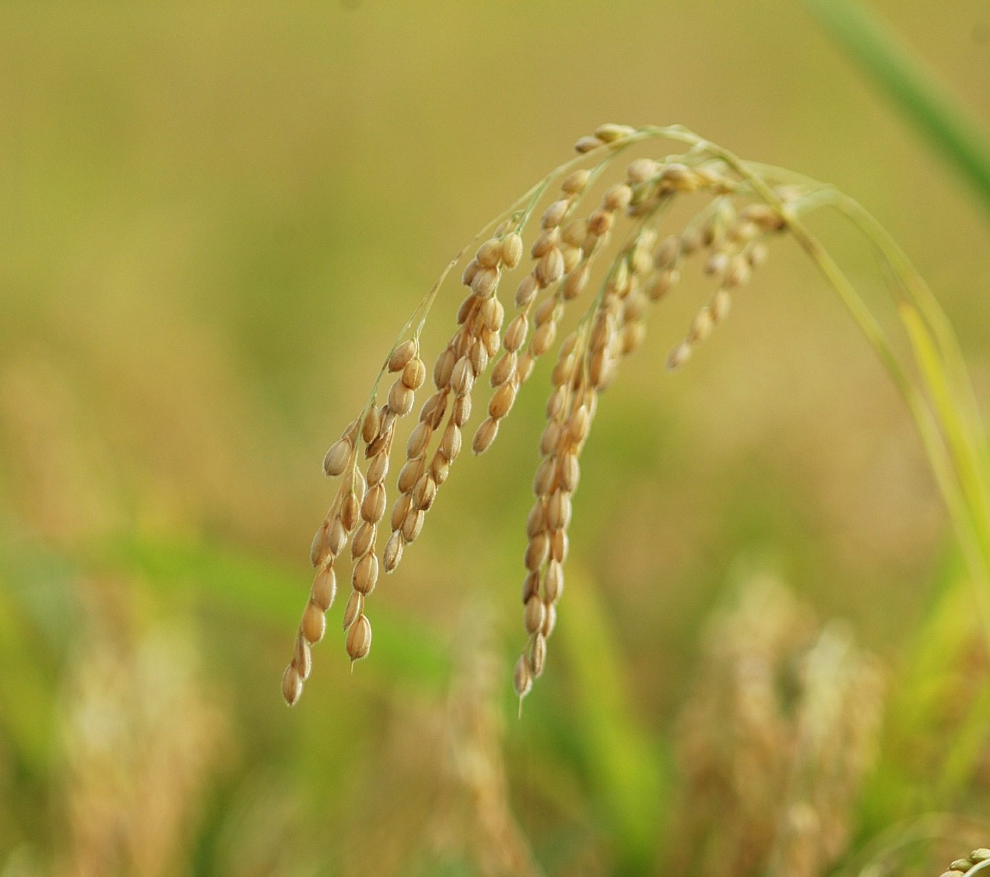 CRISPR-Cas9 Used to Develop Marker-free Carotenoid-enriched Rice