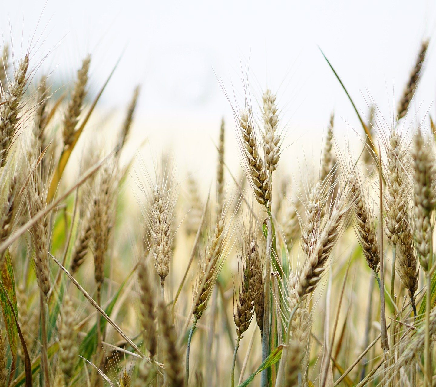 Protective gene in wild wheatgrass could stop fusarium head blight in wheat and barley